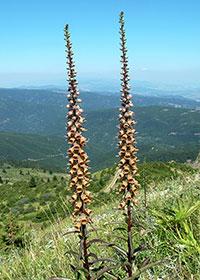 Η Digitalis ferruginea, απαντάται σε αφθονία στο Ξηροβούνι.